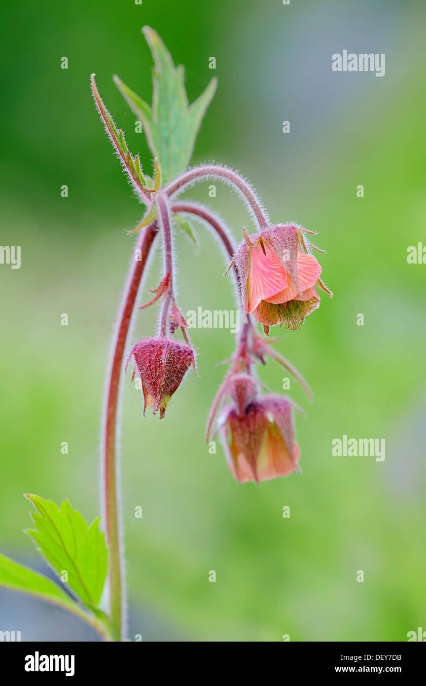 Water Avens or Purple Avens (Geum rival), flowers, North Rhine-Westphalia, Germany - Stock Image
