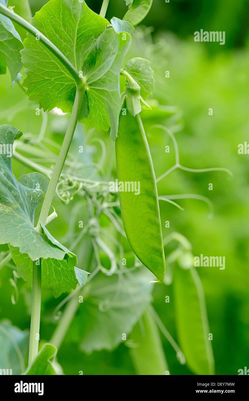 Pea, garden pea or edible pea (Pisum sativum), pod, North Rhine-Westphalia, Germany - Stock Image