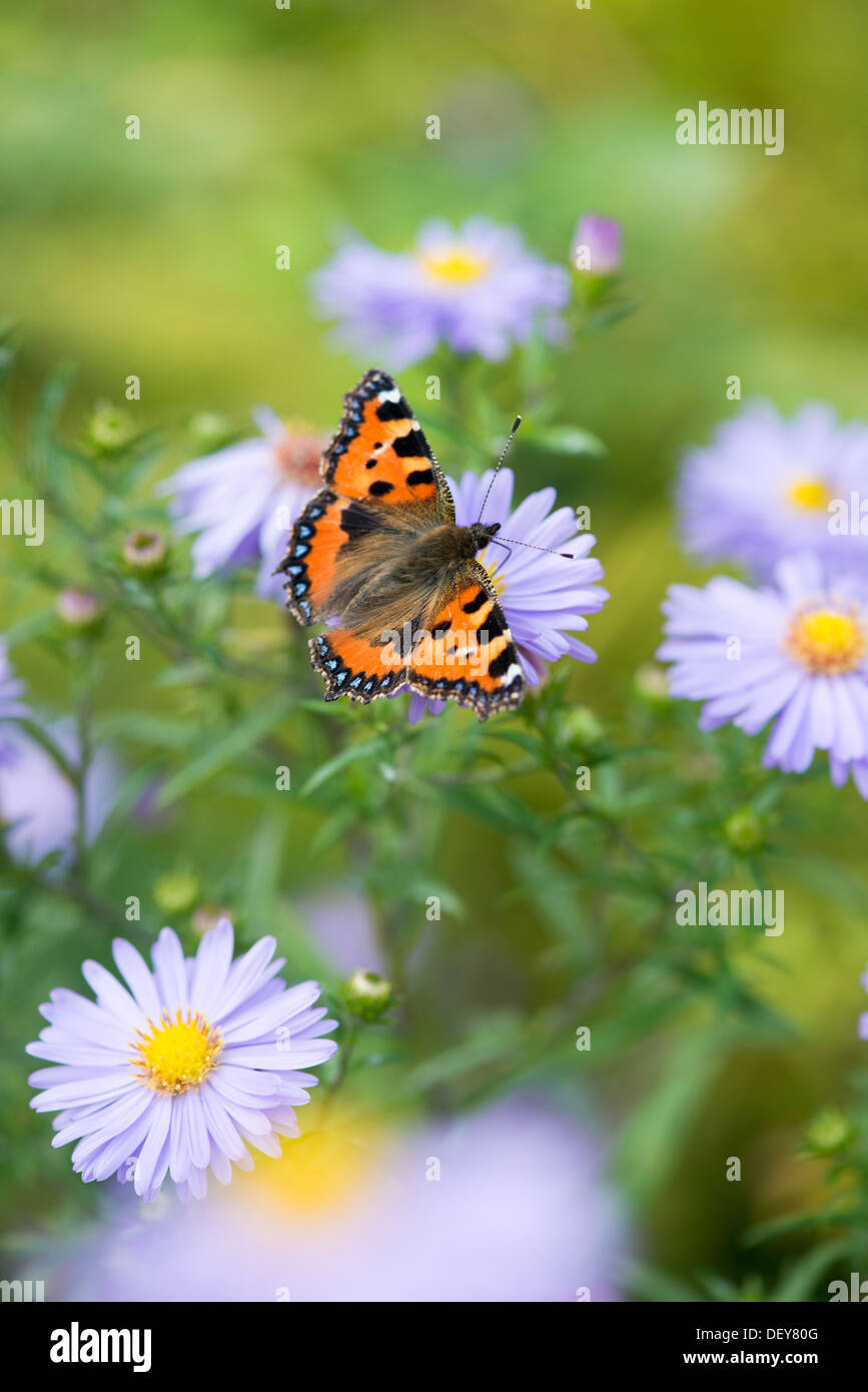 Small Tortoiseshell butterfly (Aglais urticae) - UK - Stock Image