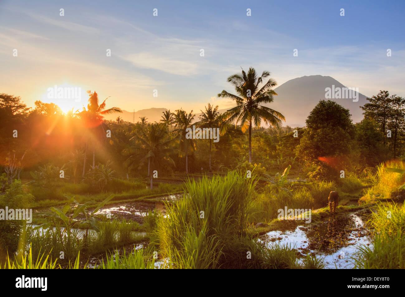 Indonesia, Bali, East Bali, Amlapura, Rice Fields and Gunung Agung Volcano - Stock Image