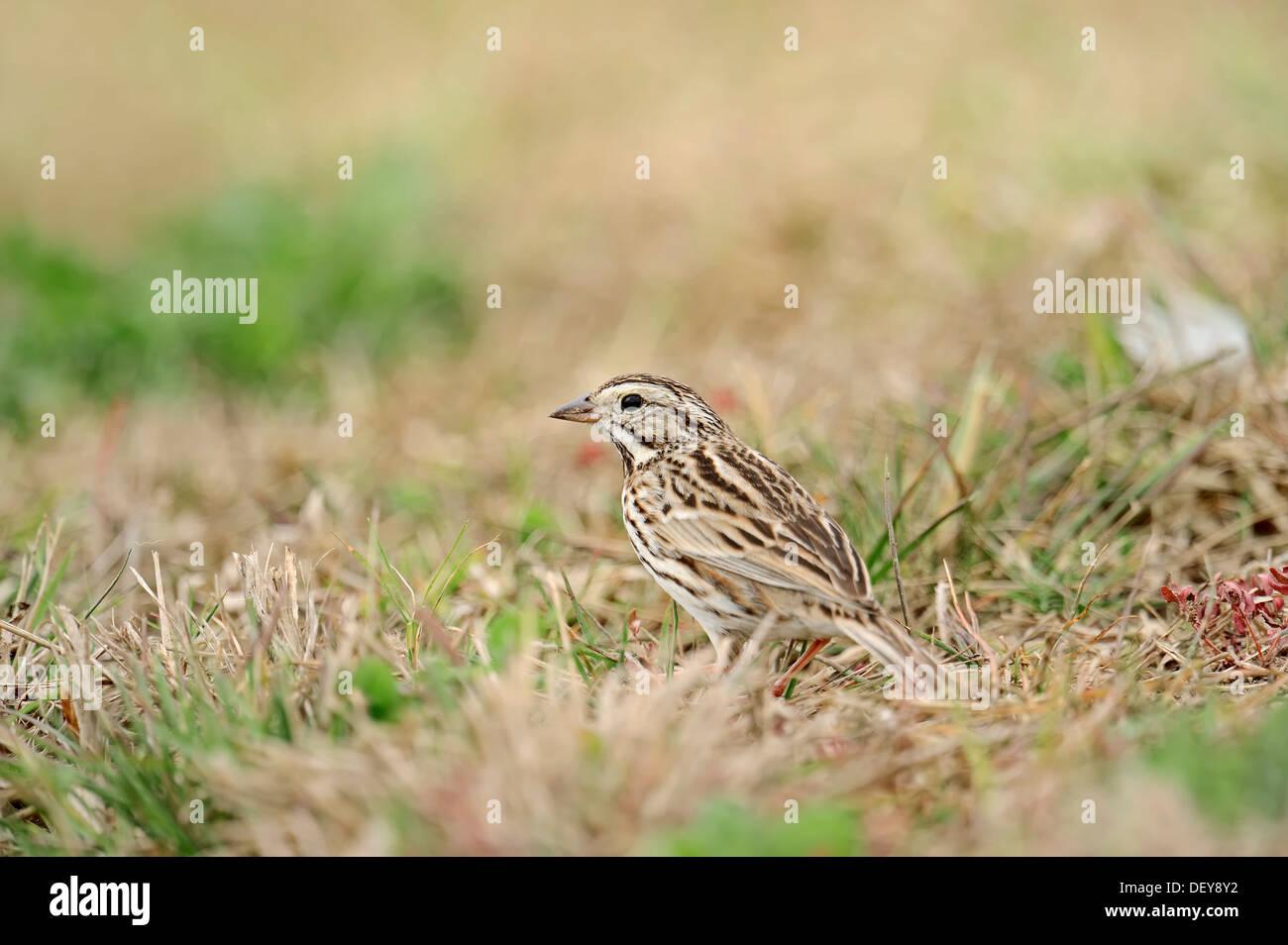Savannah Sparrow (Passerculus sandwichensis) in the grass, Florida, United States Stock Photo