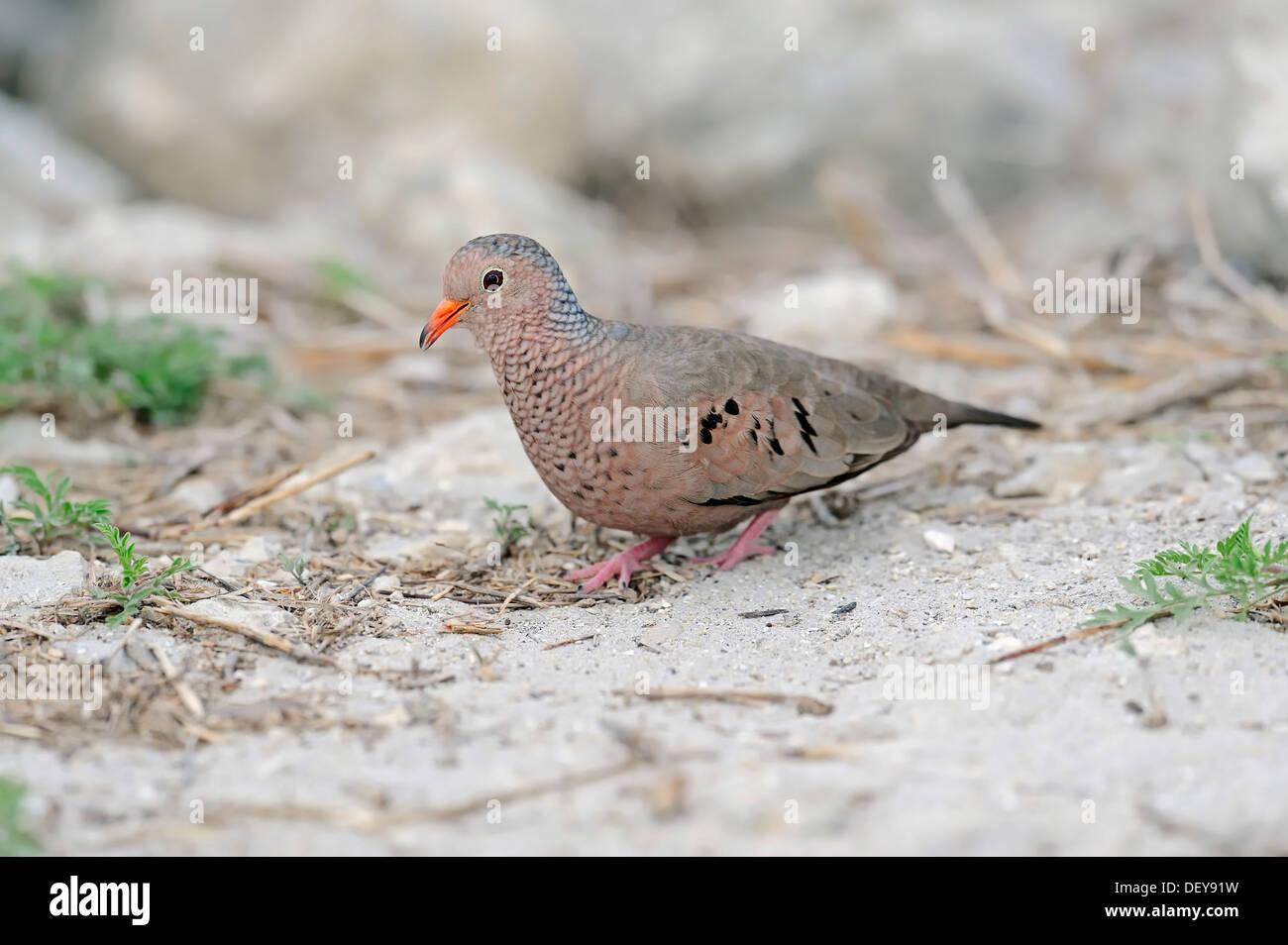 Common Ground Dove (Columbina passerina), male, Sanibel Island, Florida, United States - Stock Image