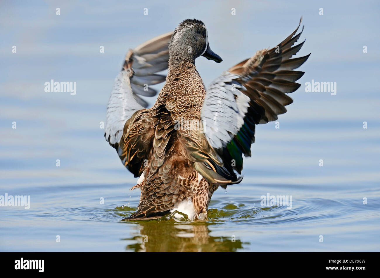Blue-winged Teal (Anas discors), drake, beating its wings, Florida, United States - Stock Image