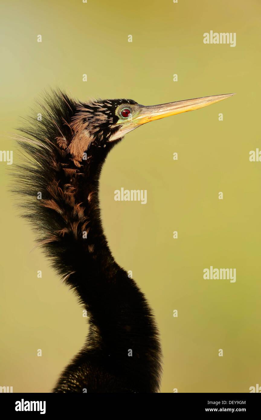 American Anhinga or Snake-Bird (Anhinga anhinga), male, portrait, Everglades-Nationalpark, Florida, United States - Stock Image