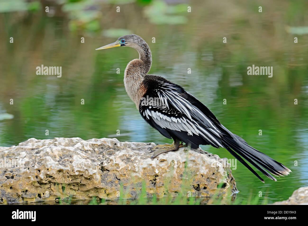 American Anhinga or Snake-Bird (Anhinga anhinga), female, Everglades-Nationalpark, Florida, United States - Stock Image