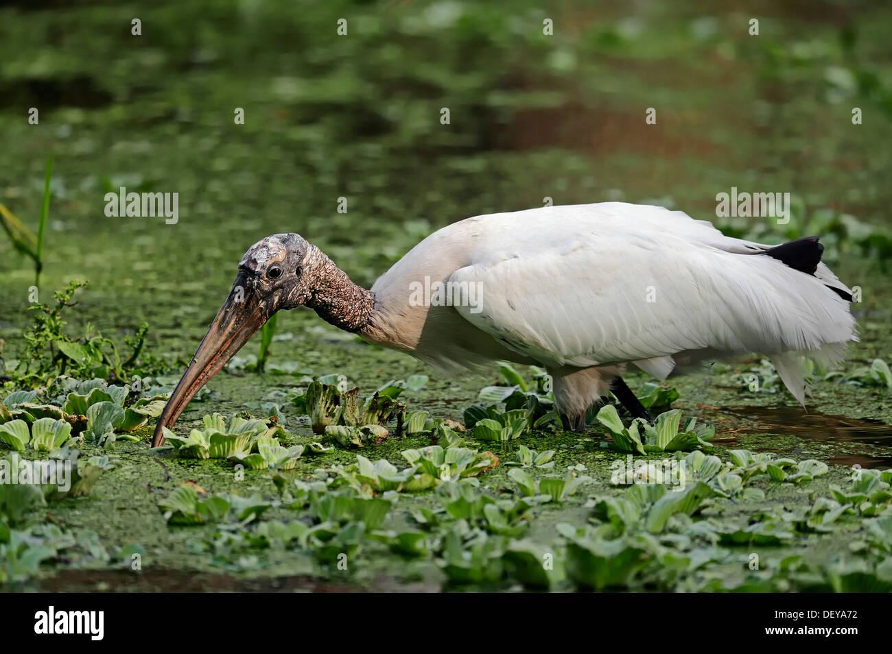 Wood Stork (Mycteria americana) in search of food, Corkscrew Swamp Sanctuary, Florida, United States - Stock Image