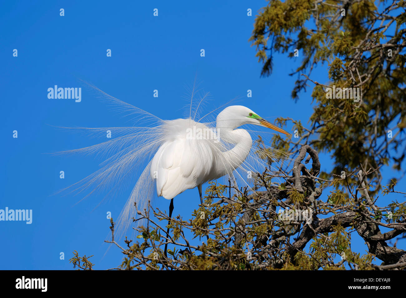 Great Egret (Casmerodius albus, Egretta alba), courtship display, Florida, United States Stock Photo