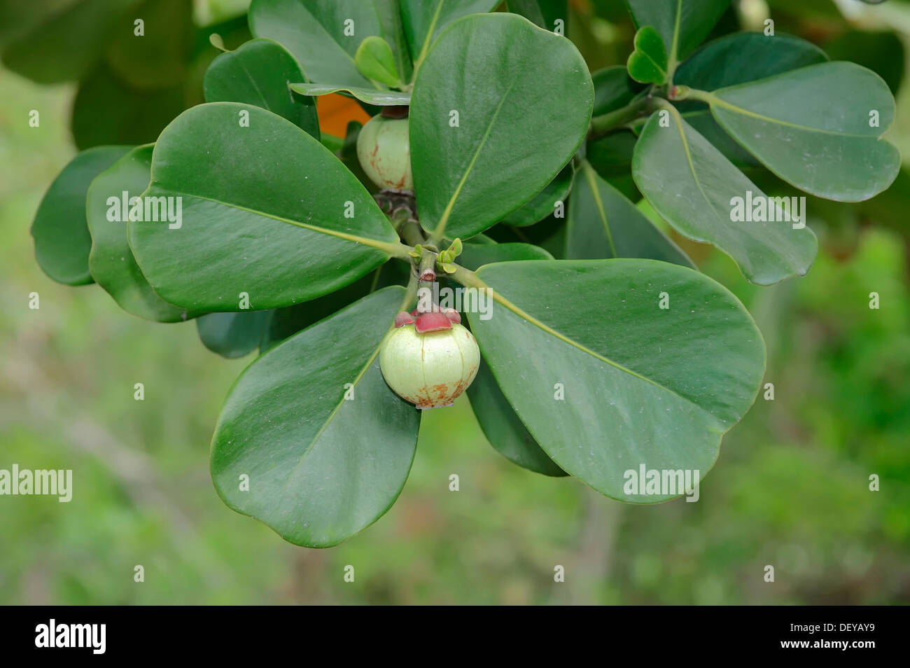 Autograph Tree, Copey, Balsam Apple or Pitch-apple (Clusia major, Clusia rosea), fruit and leaves on the tree, Florida - Stock Image