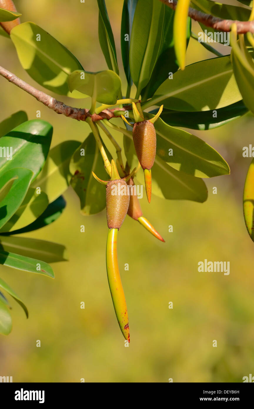Red Mangrove (Rhizophora mangle), twig with seedlings, Sanibel Island, Florida, United States - Stock Image