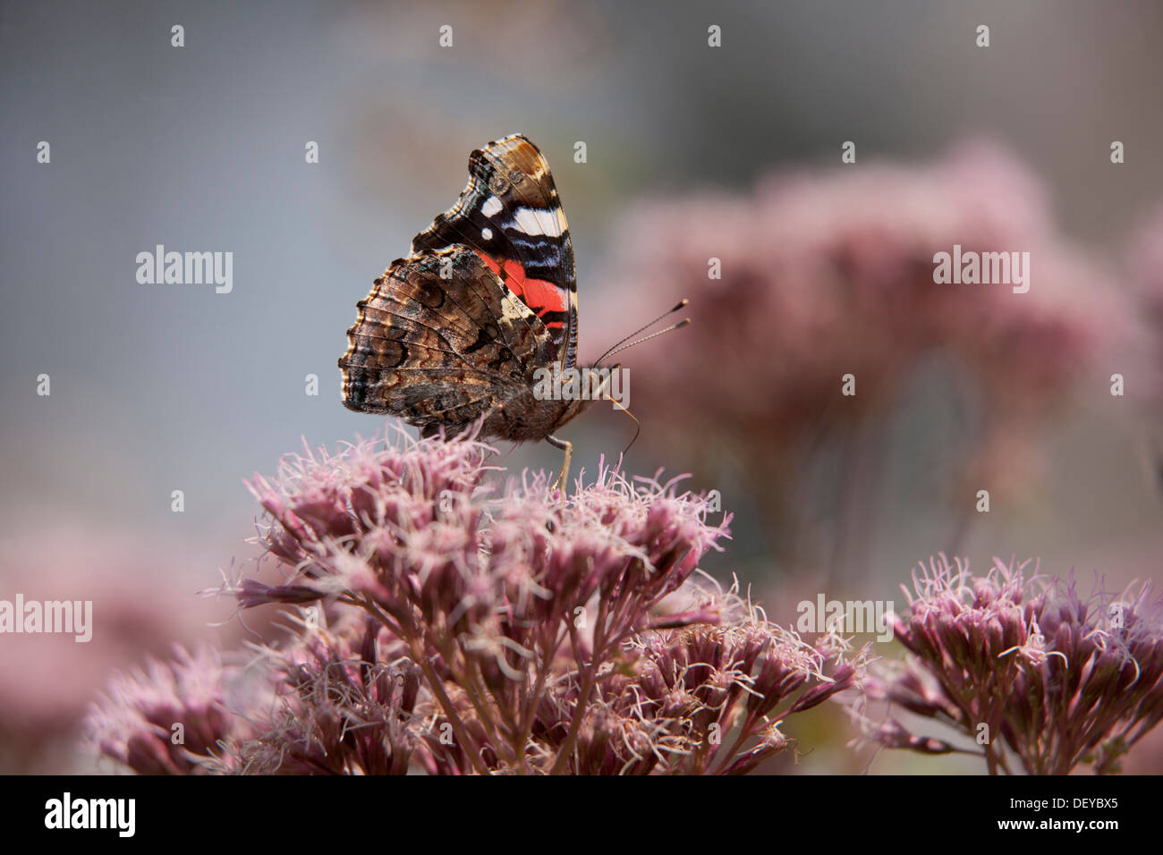 Red Admiral butterfly (Vanessa atalanta), Bergisches Land - Stock Image