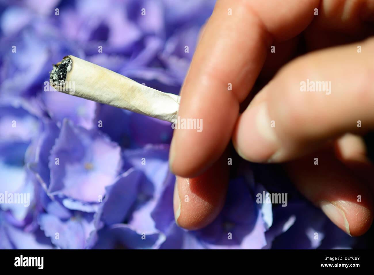 Joint before a hydrangea, smoke from hydrangea sheets, Joint vor einer Hortensie, rauchen von Hortensienblättern - Stock Image
