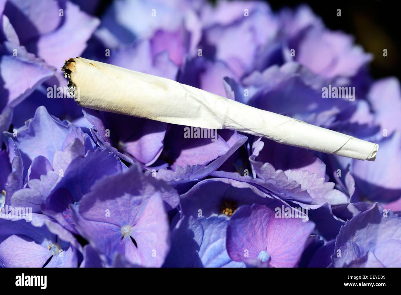 Joint on a hydrangea, smoke from hydrangea sheets, Joint auf einer Hortensie, rauchen von Hortensienblättern - Stock Image