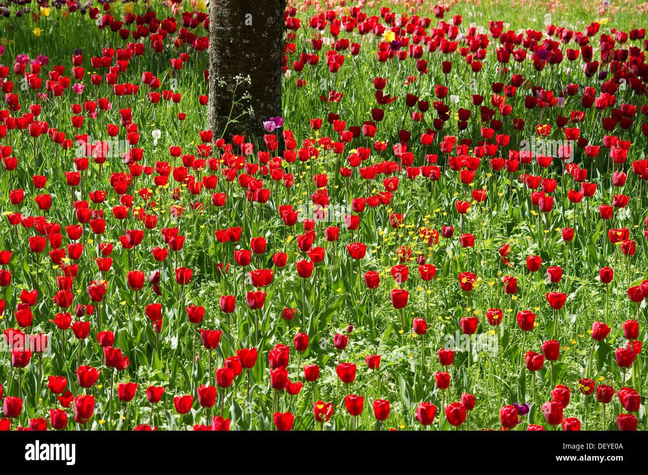 Red tulips, tulip field, Insel Mainau, Konstanz, Baden-Württemberg, Germany - Stock Image