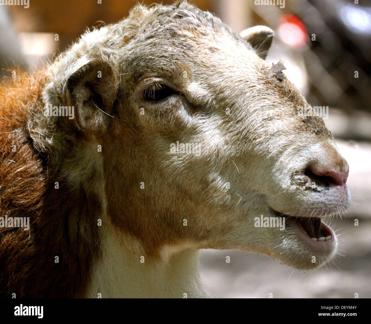 Waccatee Zoo - Goat Talks - Stock Image