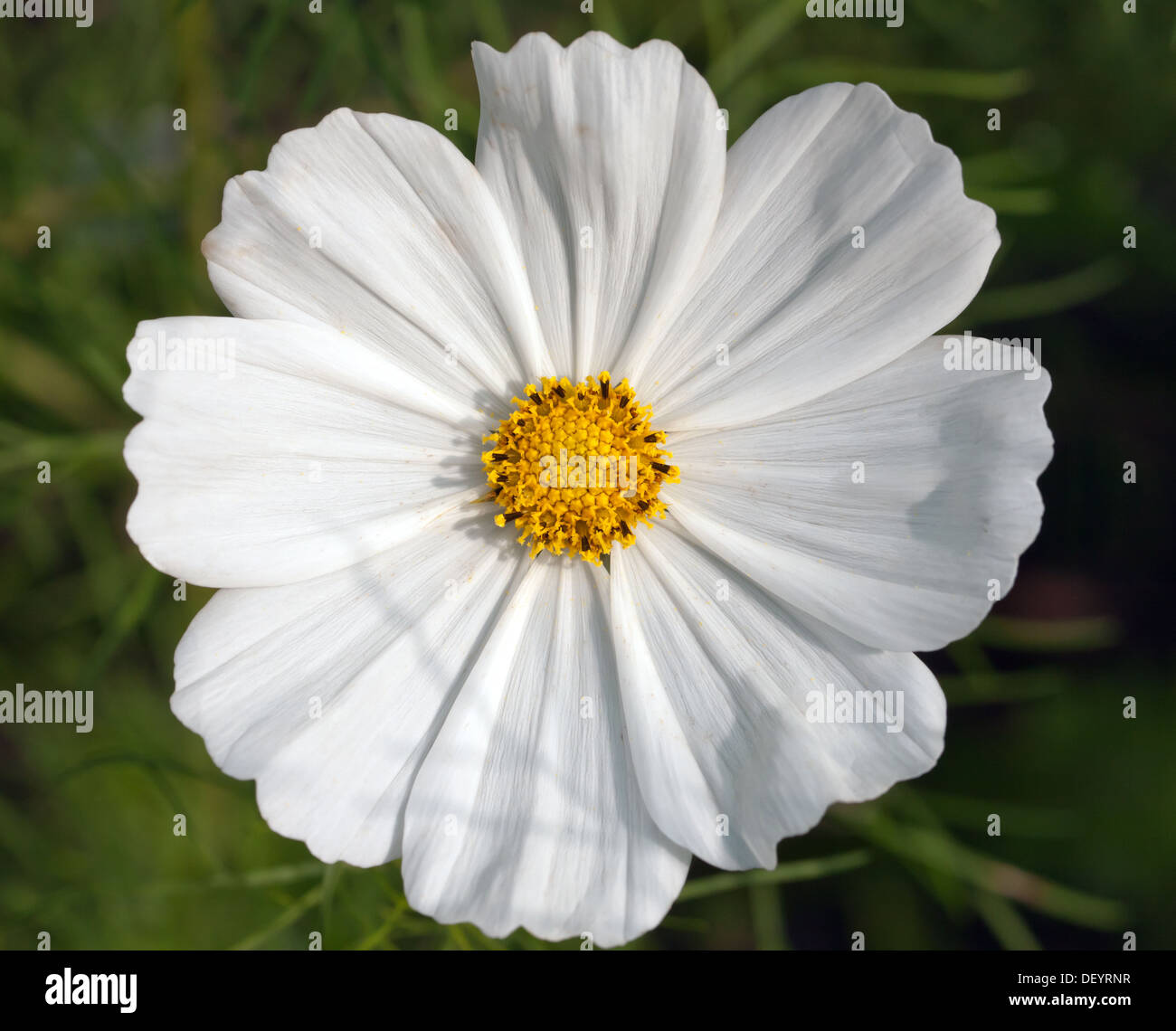 Close-up view of a single flower of a white  Mexican aster 'Sonata White' - Stock Image