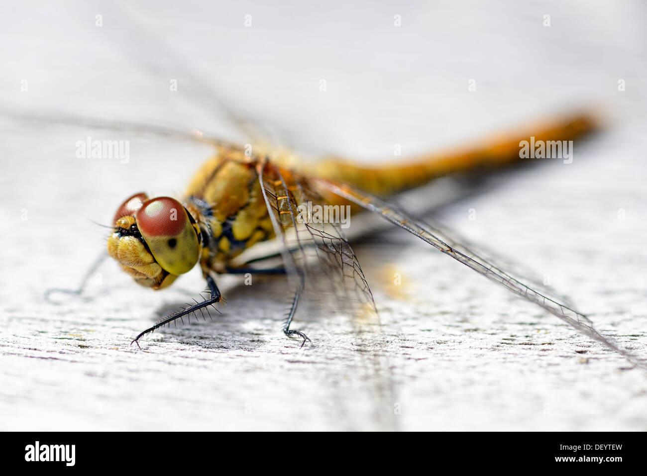 Dragonfly (Odonata), Libelle (Odonata) Stock Photo
