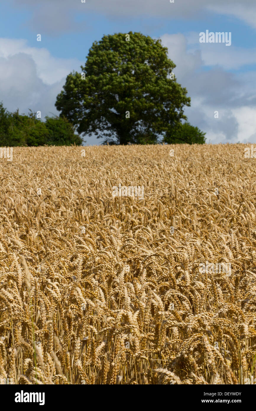 Wheat Crop Crops Field Grain Ready Harvest Time Uk Stock