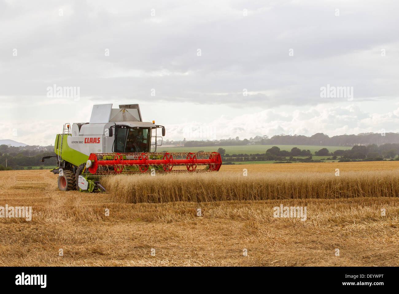 combine harvester harvesting wheat crop field uk - Stock Image