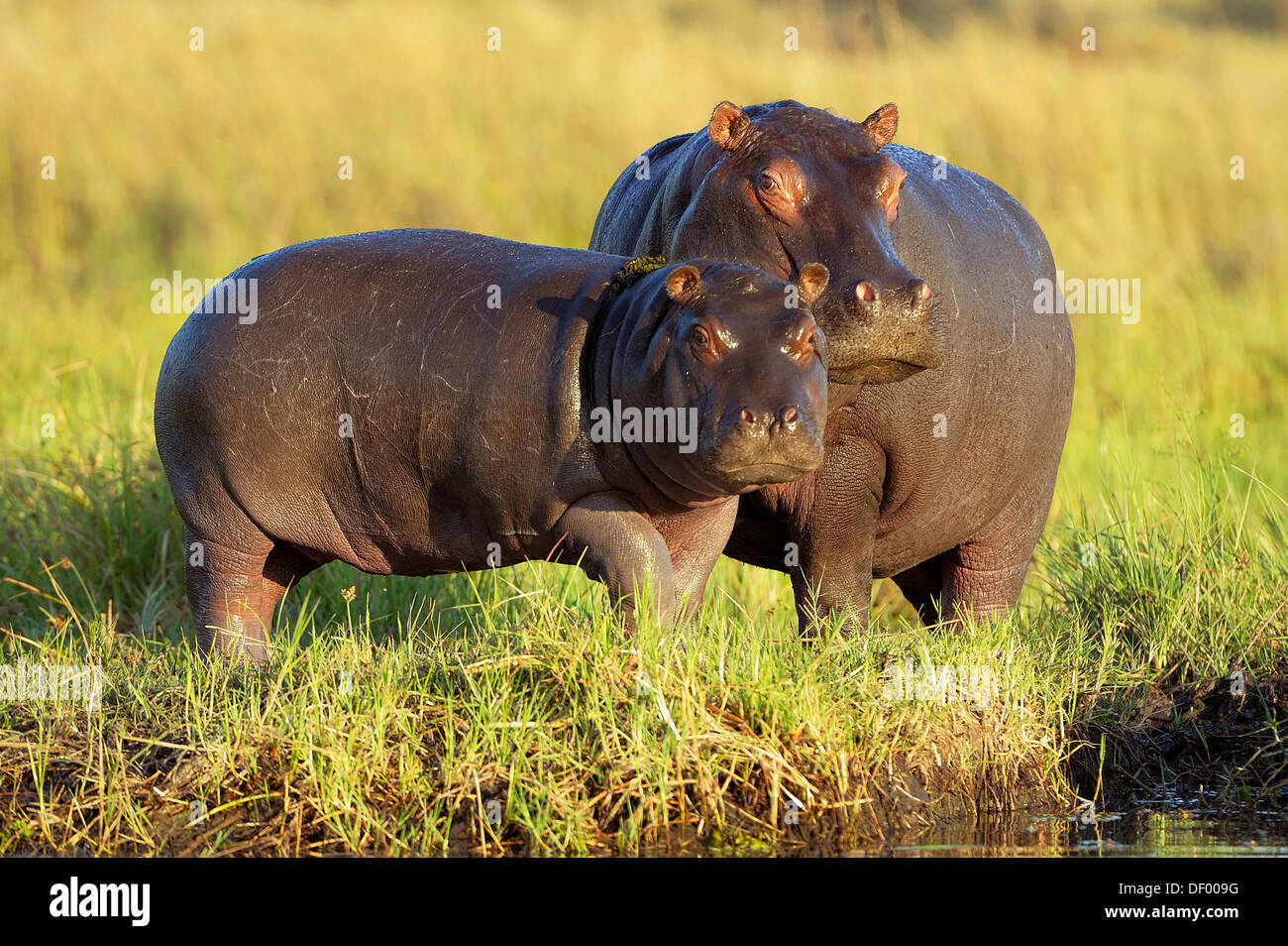 Hippopotamuses (Hippopotamus amphibius), Chobe National Park, Kasane, North-West District, Botswana Stock Photo