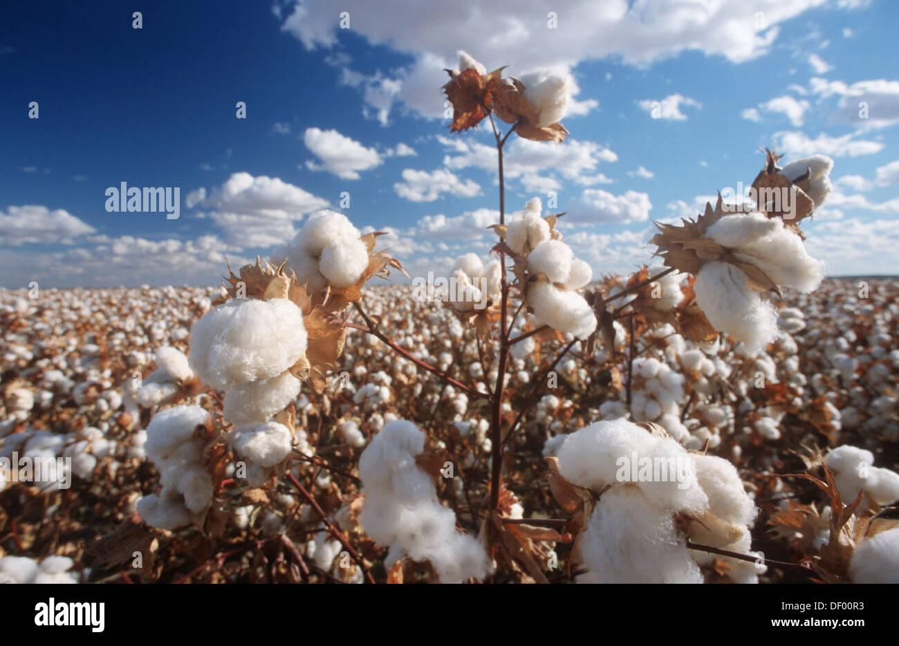 Pima Cotton