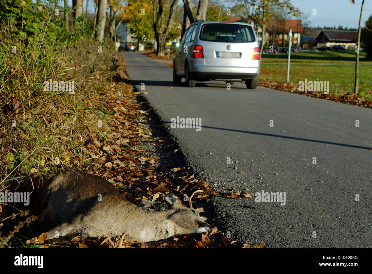 Dead deer on the roadside, animal-vehicle accident, run-over deer - Stock Image