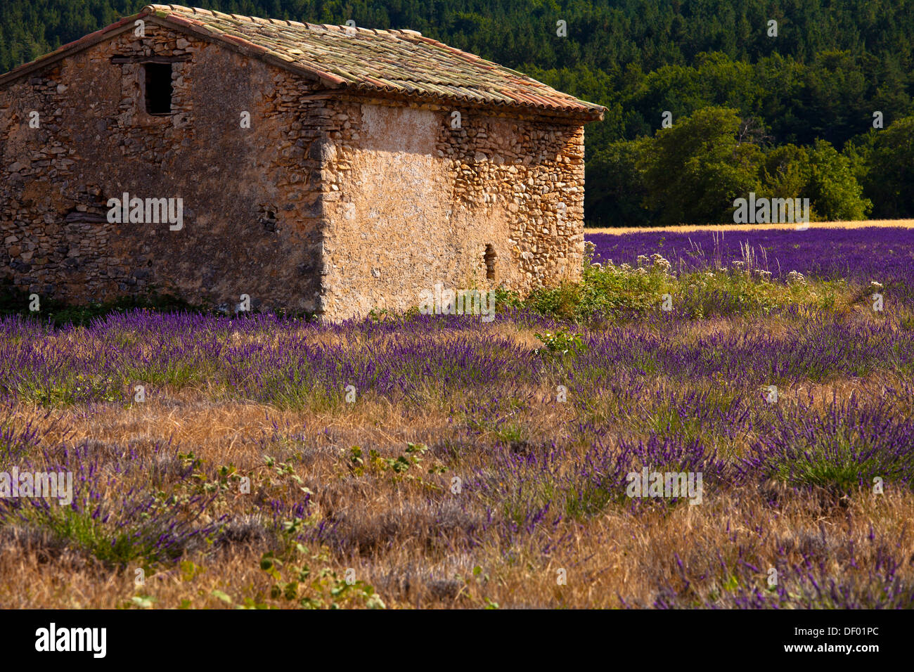 Old stone hut in a blooming field of Lavender (Lavandula angustifolia), near St-Christol and Sault, Vaucluse Stock Photo