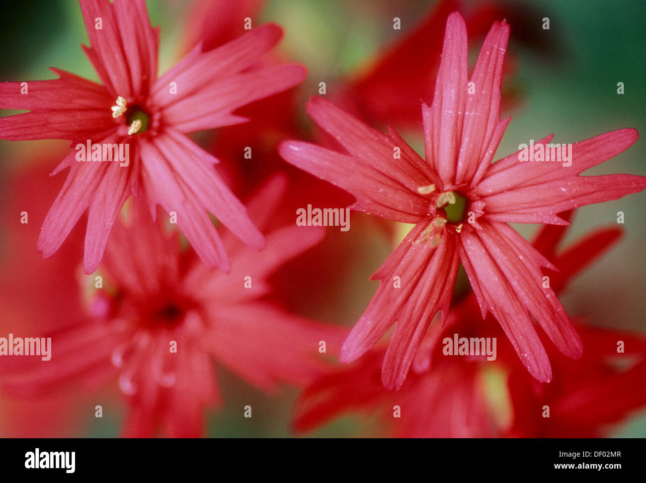 Fire Pink Flower Plant Silene Stock Photos Fire Pink Flower Plant