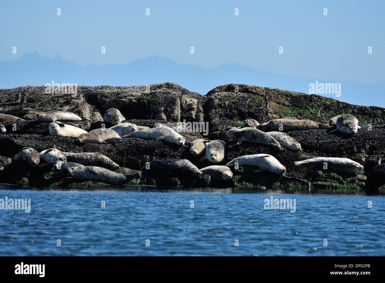 Harbor seals basking in the warm sunlight on a rocky island Stock Photo