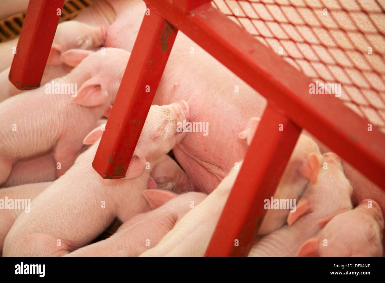 Piglet suckling. Illinois State Fair - Stock Image