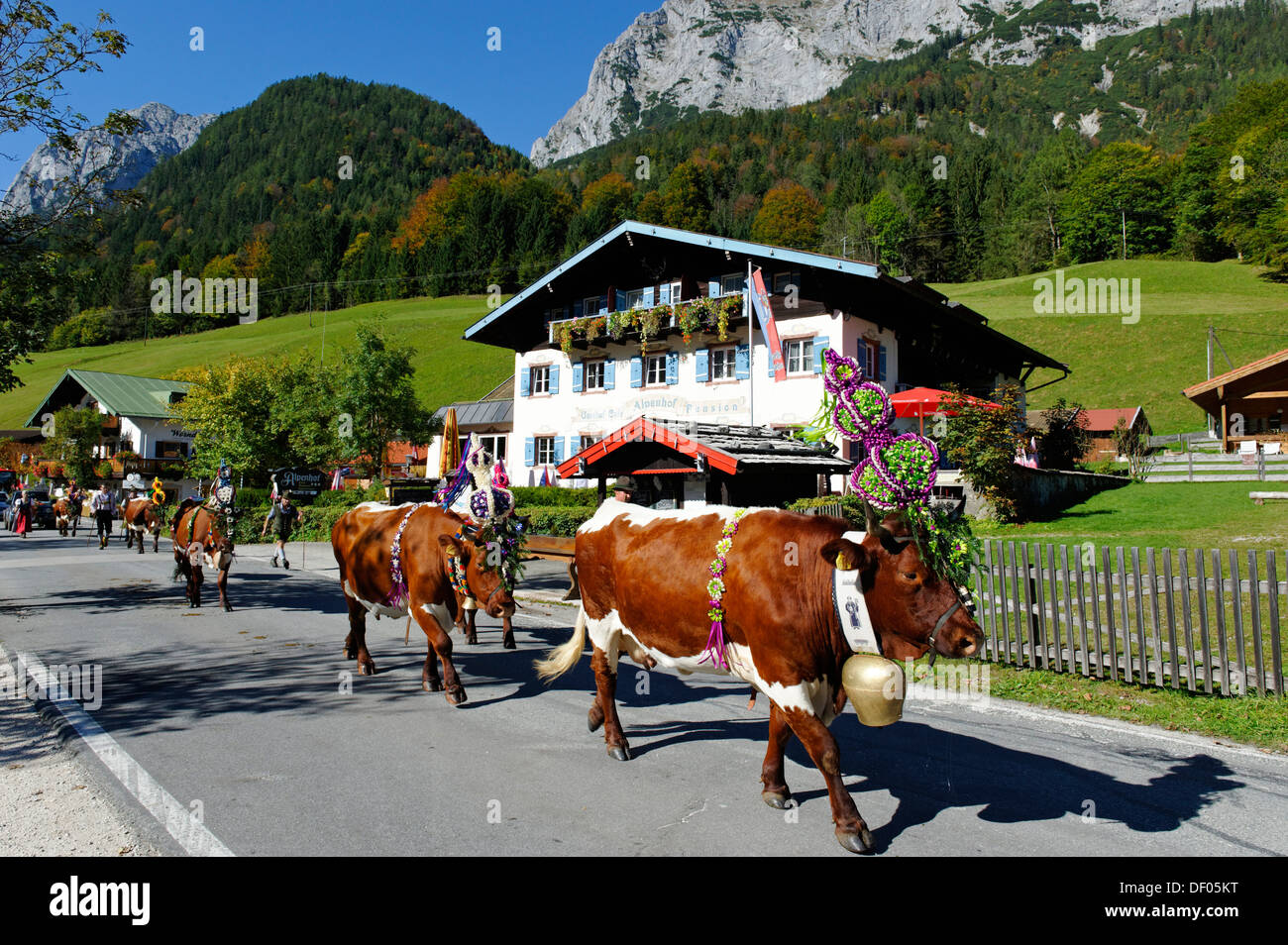 Traditional Almabtreib cattle drive, Halsam, Berchtesgadener Land District, Upper Bavaria, Bavaria, Germany Stock Photo