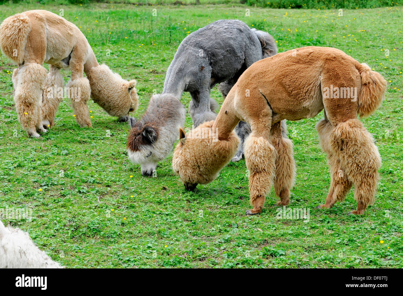 Alpacas (Lama pacos), alpaca breeding, Schwaebisch Gmuend, Baden-Wuerttemberg - Stock Image