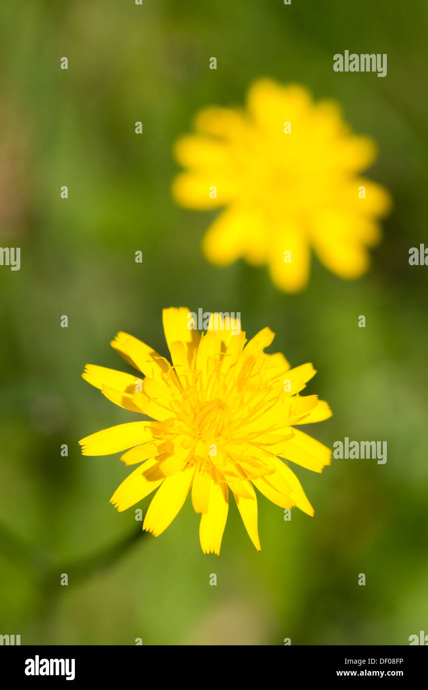 Close-up of head of yellow flower head of member of Compositae family - Stock Image