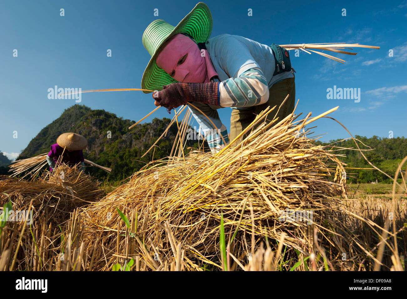 Women wearing masks from the Shan or Thai Yai ethnic minority making straw bundles, field work, harvested rice paddy - Stock Image