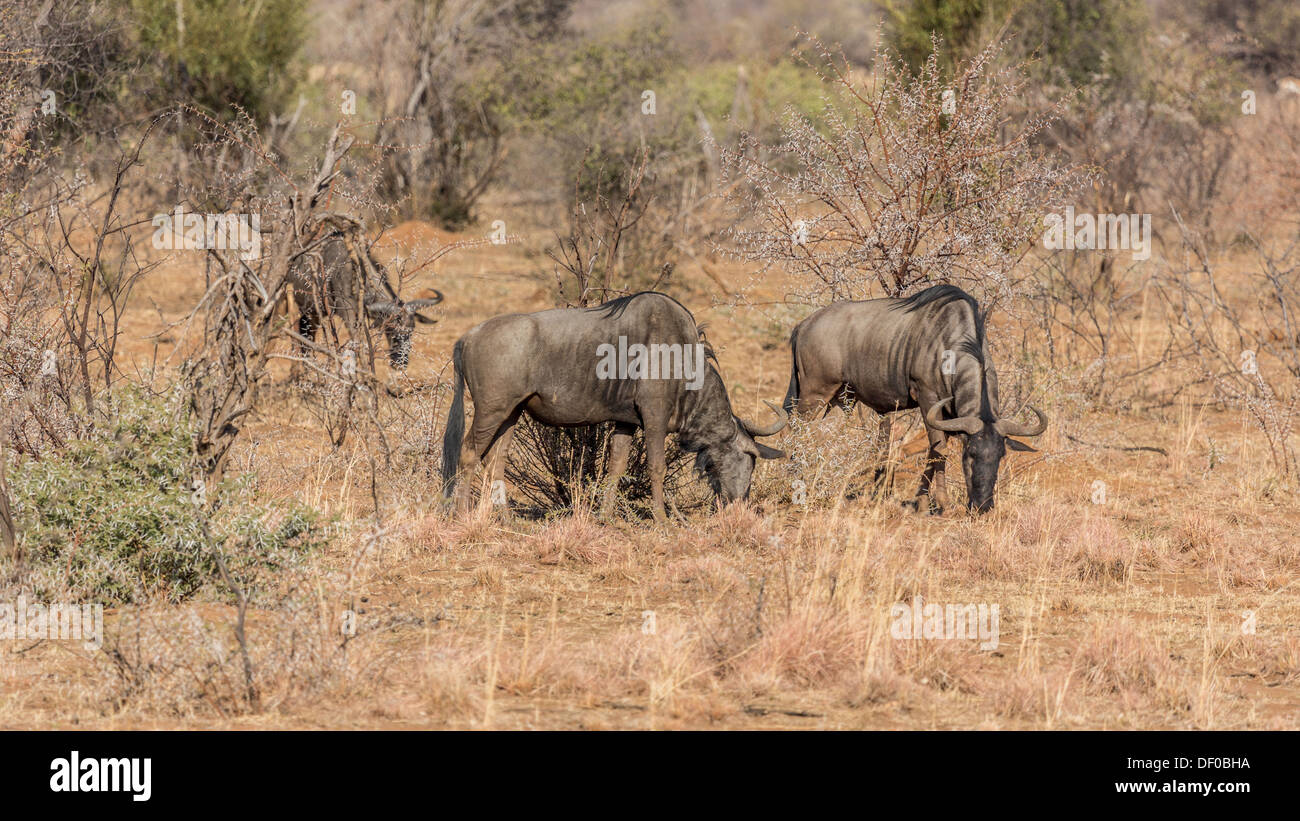 Three Blue Wildebeest grazing in the dry grasslands of Pilanesberg National Park in South Africa - Stock Image