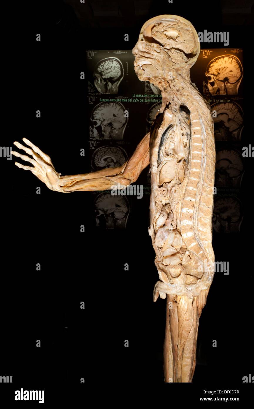 Human Body Organs Stock Photos Human Body Organs Stock Images Alamy