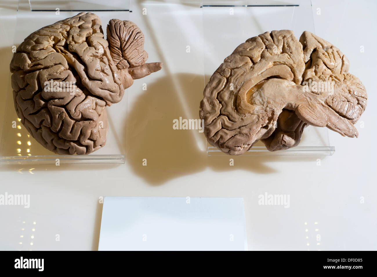 Plastination specimen of midsagittal cut of human brain - Stock Image