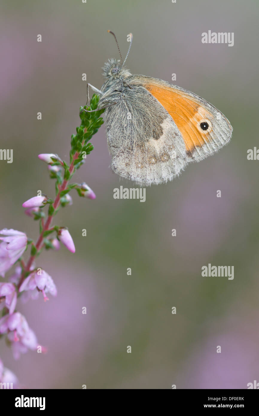 Small Heath (Coenonympha pamphilus), Haren, Emsland, Lower Saxony - Stock Image