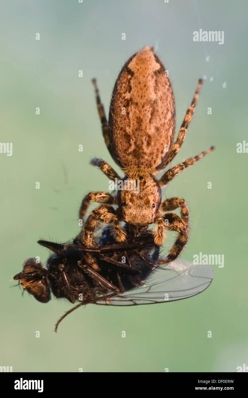 Fencepost Jumper Spider (Marpissa muscosa) with prey, Haren, Emsland, Lower Saxony - Stock Image