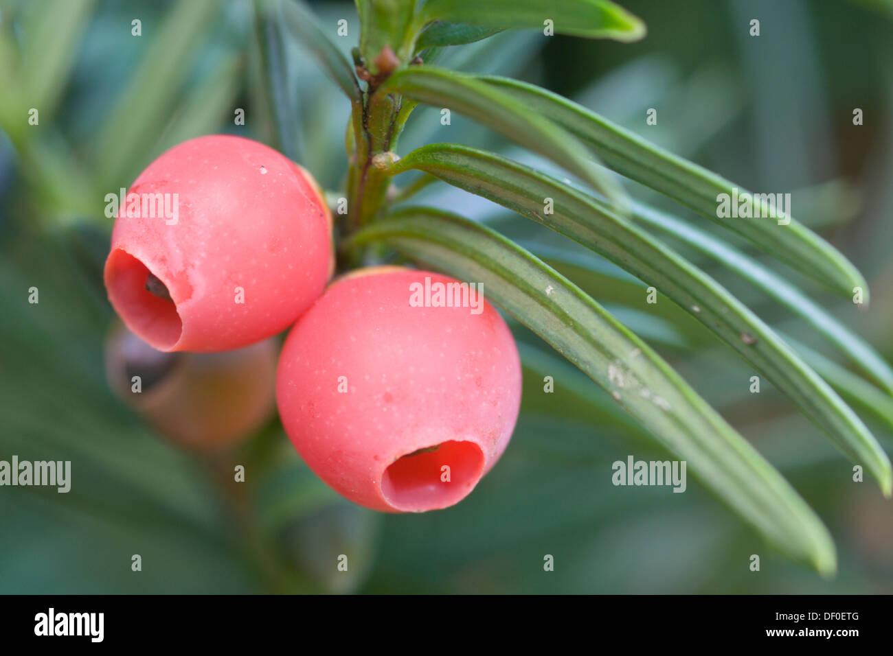 Yew (Taxus baccata), fruits, Haren, Emsland region, Lower Saxony - Stock Image