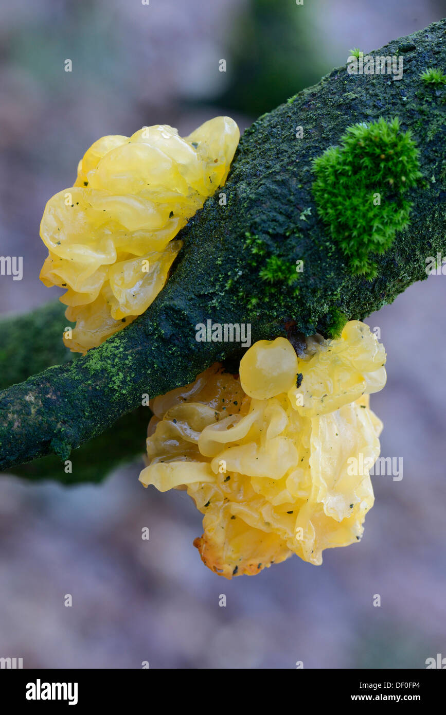 Yellow Brain, Golden Jelly Fungus, Yellow Trembler or Witches' Butter (Tremella mesenteric), Haren, Emsland, Lower Saxony - Stock Image