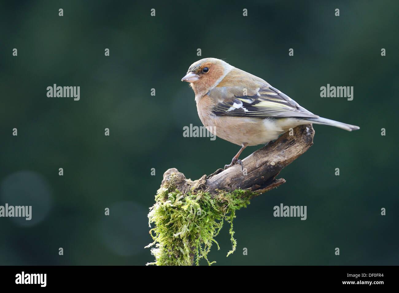 Chaffinch (Fringilla coelebs), male, Haren, Emsland, Lower Saxony, Germany - Stock Image