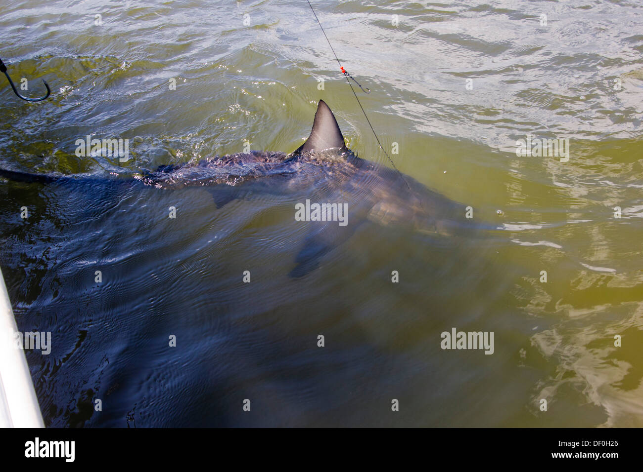 shark fishing - Gulf of Mexico - Stock Image