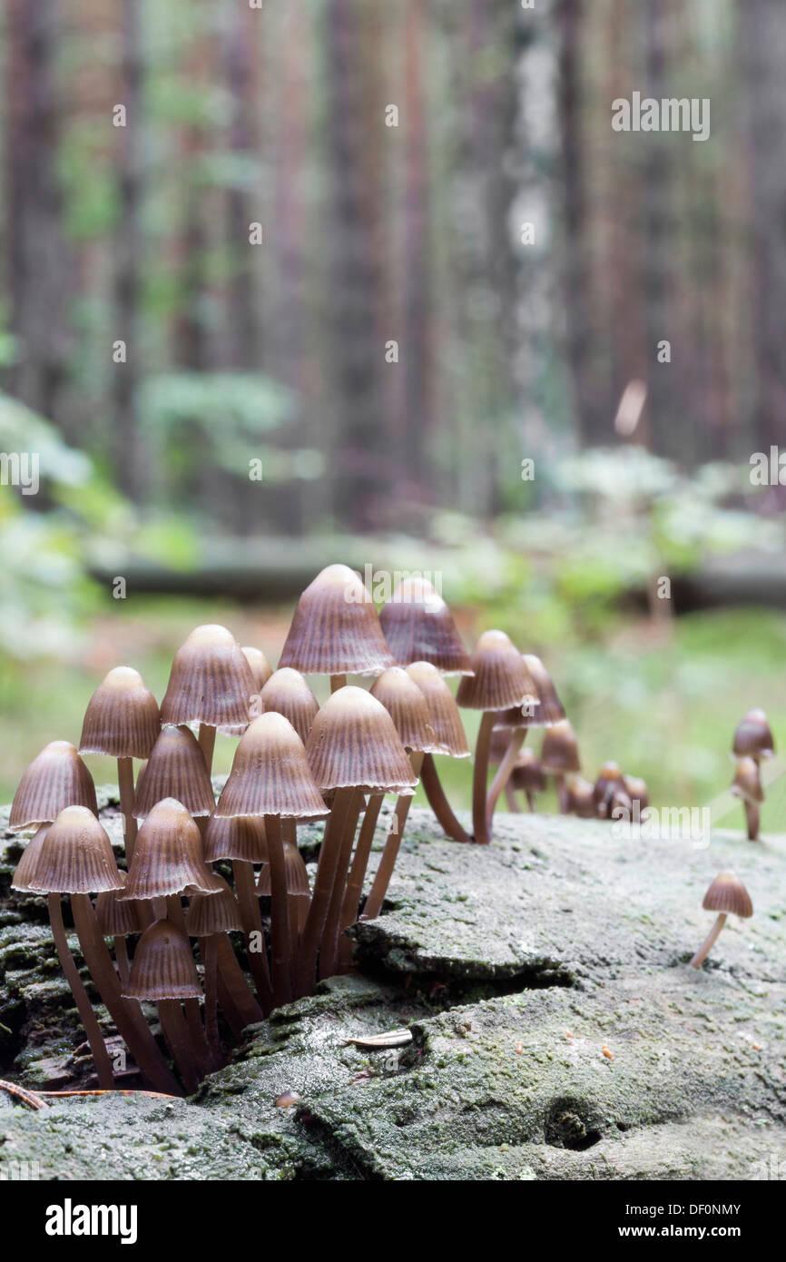 Coprinellus disseminatus -Fairies Bonnets - Stock Image