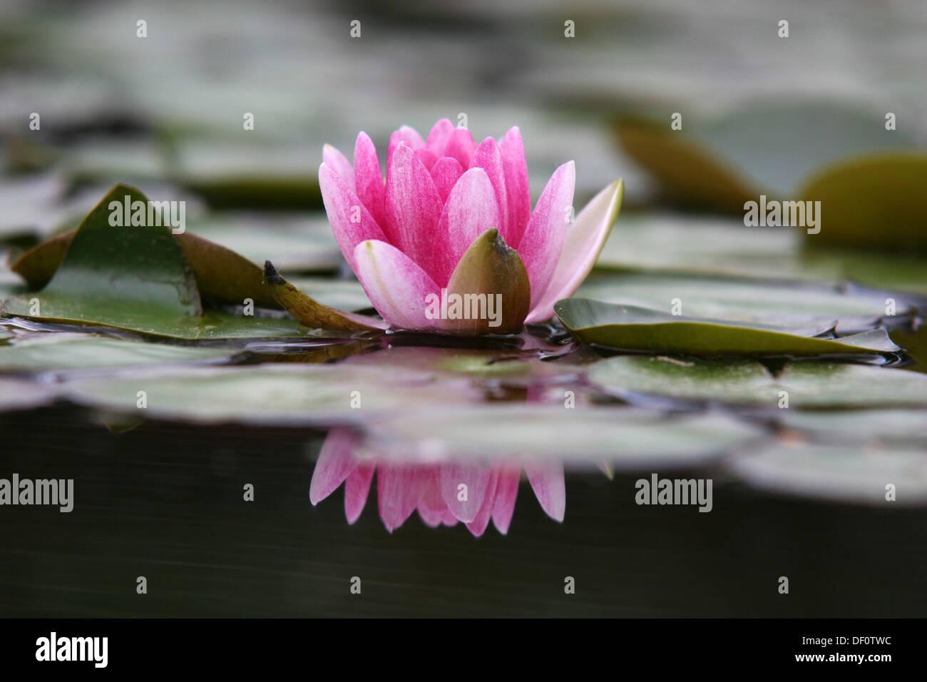Leipzig, Germany, buehende dwarf water lily Stock Photo