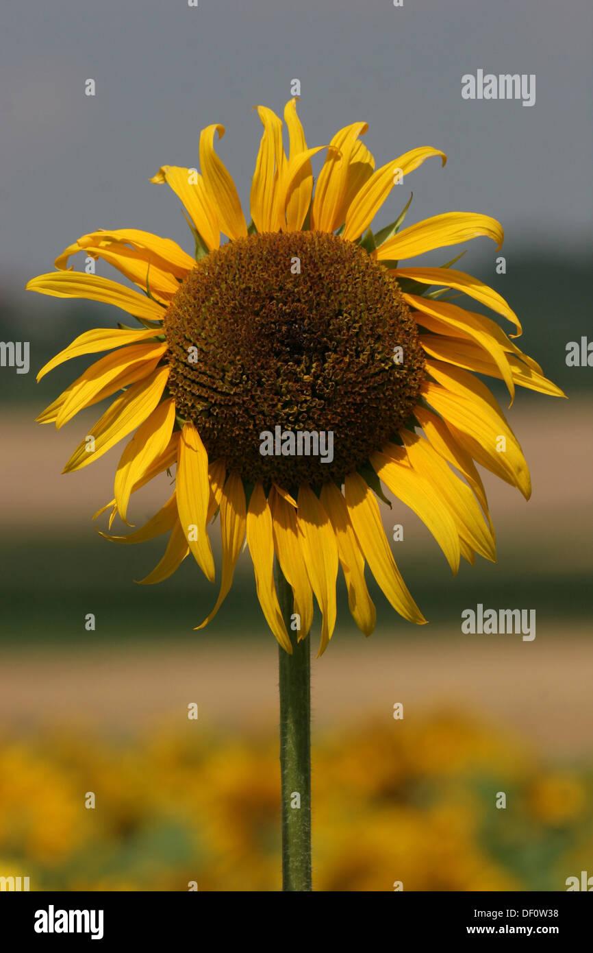Leipzig, Germany, Sunflower Stock Photo