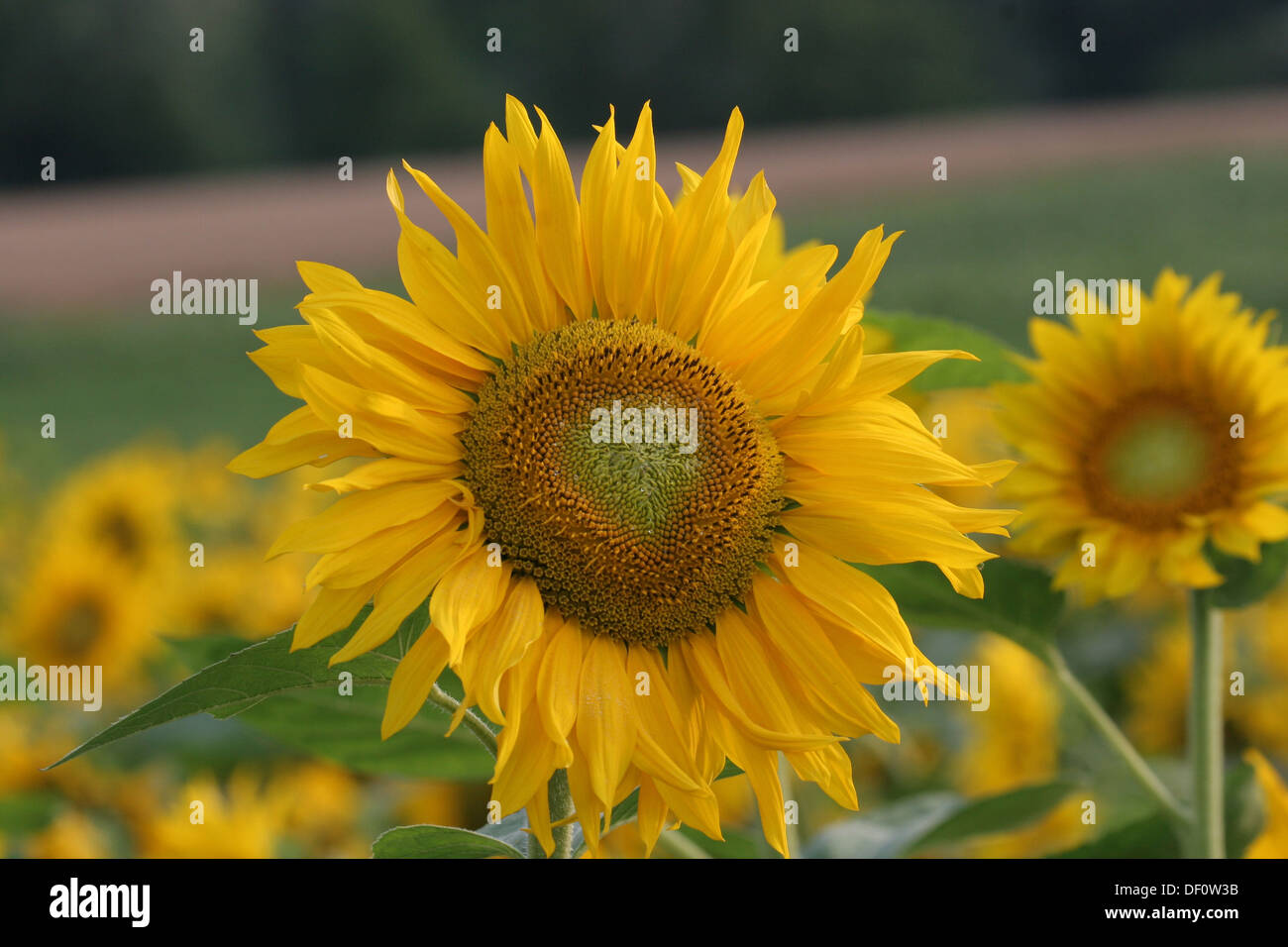 Leipzig, Germany, Sunflower in a field of sunflowers Stock Photo