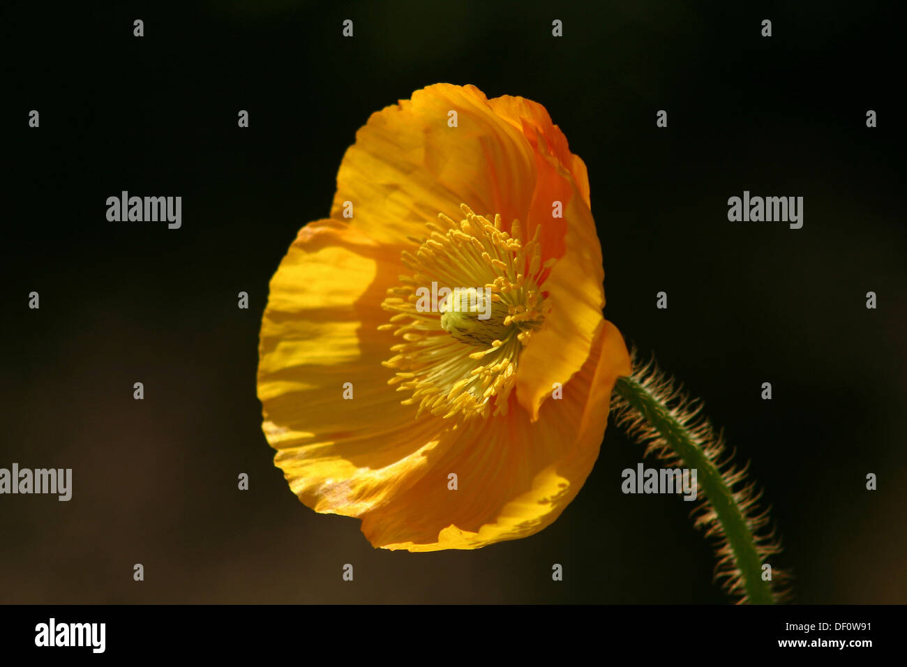 Leipzig, Germany, yellow poppy Stock Photo