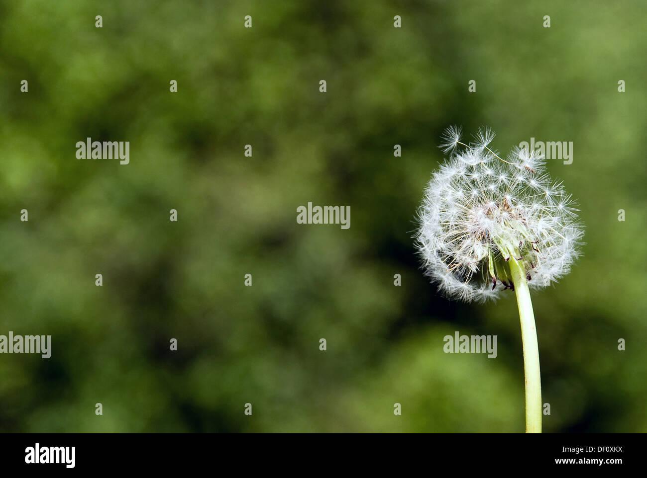 Berlin, Germany, dandelion Stock Photo