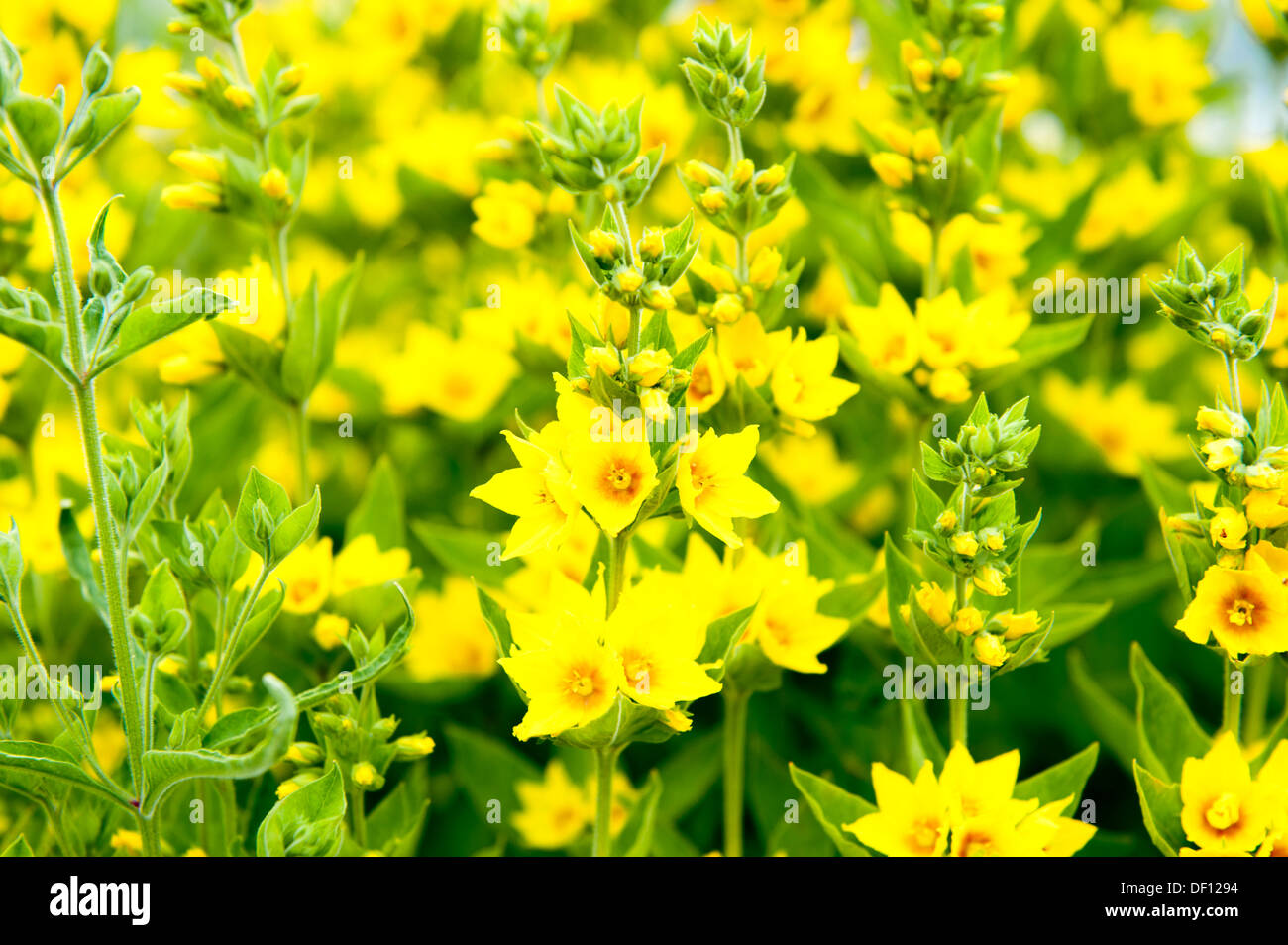 Large Group Of Yellow Flowers With Green Stems And Leaves Stock