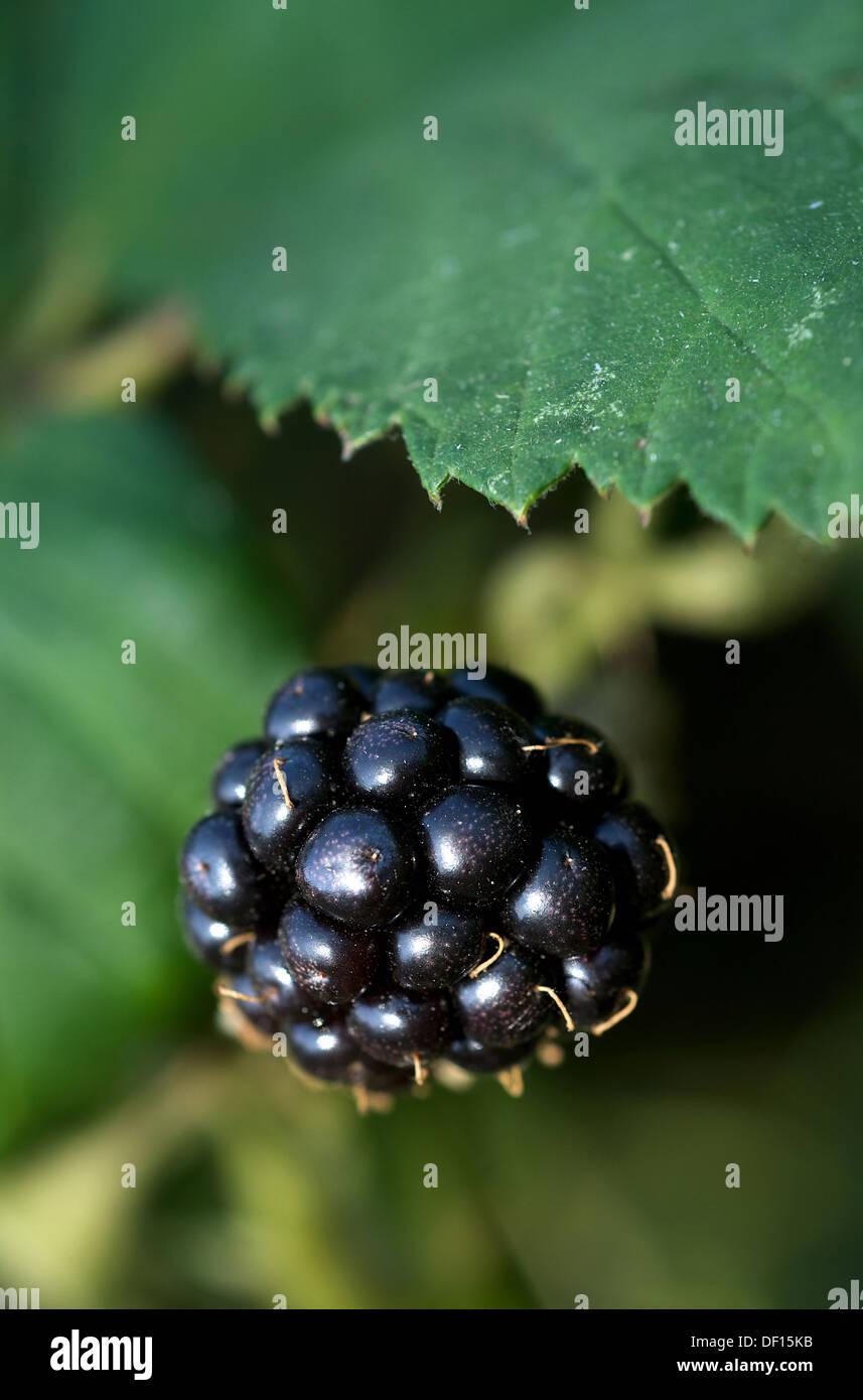 Manderow, Germany, a mature black blackberries on the bush Stock Photo